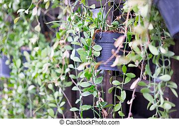 Dave or Dischidia nummularia variegata. It suitable for...