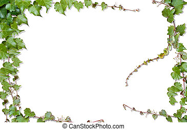 vines - dawing of beautiful green vines in a white...
