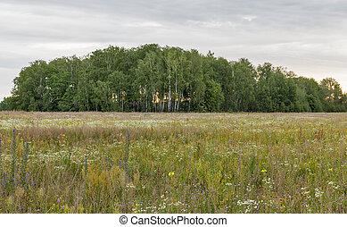dawn landscape birch grove in the field