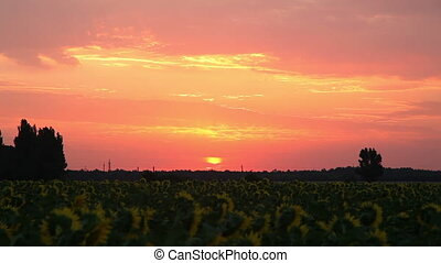 Dawn on The Field With Sunflowers. Timelapse