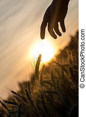 Dawn with a rising fiery sun over a field of wheat with a hand silhouette stretching down to touch one of the fresh ears of grain in a conceptual image of nature, crops and agriculture.