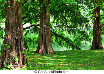 A group of mature Dawn Redwood trees.