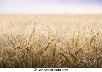 day., ensoleillé, champ blé