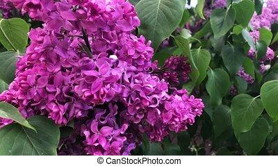 day., fleur, ensoleillé, lilas