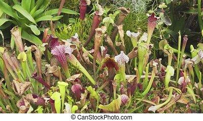 day., gros plan, prédateurs, ensoleillé, sarracenia, -, plante