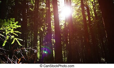 A sunny day in a dense wild coniferous forest. Ukraine, Carpathians. Video with sound