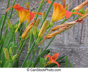 day lilies - orange daylilies in front of the grey stones of...