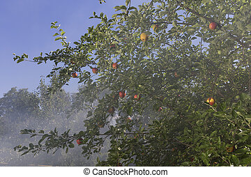 day., nebbia, soleggiato, mela, giardino