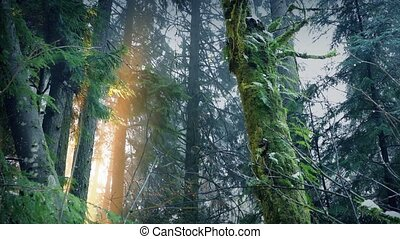 Daybreak In The Forest - Sunlight breaks through tall forest...