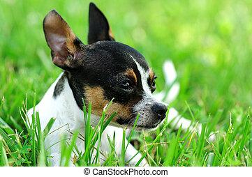 Daydreaming Chihuahua