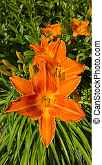 Multiple daylilies in bloom among the lush green foliage