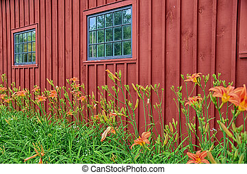 Orange day lilies growing outside a red building in Vermont