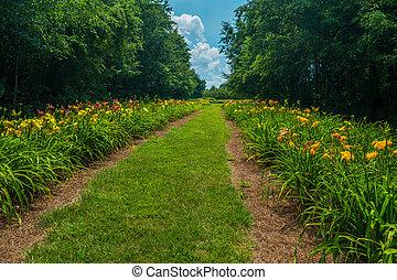 daylilies, rangées, coloré