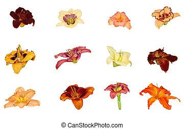 daylily, コレクション