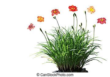 daylily, 花, 植物