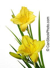 daylily, amarillo