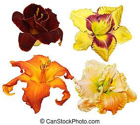 daylily, fleurs
