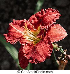 daylily, (hemerocallis), cultivar