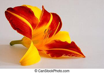 daylily, (hemerocallis)