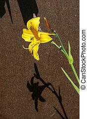 daylily, (hemerocallis, jaune, lilioasphodelus)