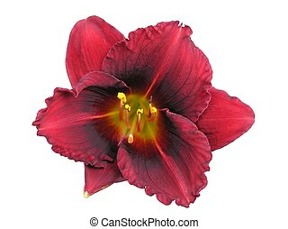 """Daylily hybrid: Siloam Show Girl. A dormant variety hybridized by Henry 1981. Mid-season blooming diploid with 31/2"""" exotic blossoms of red with a bright red eye & yellow-green throat."""