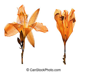 daylily in herbarium - Pressed and dried flower of daylily (...