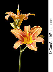 Daylily isolated on white background.