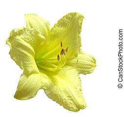 daylily, jaune