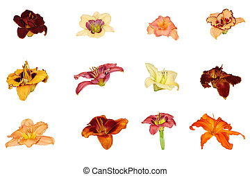 daylily, kollektion