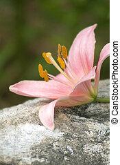 Daylily on Rock