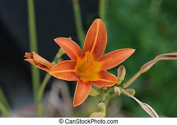 daylily, orange