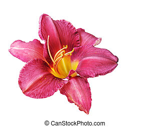 daylily, rosso