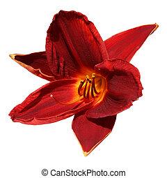 daylily, rouges