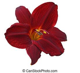 daylily, unique