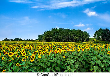 A sunflower field during the early afternoon