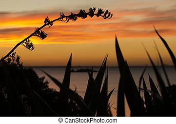 Daytime - Sunrise and Sunset - Silhouette of flax bush...
