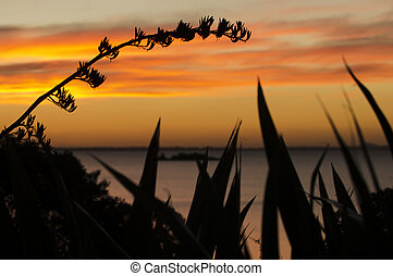 Daytime - Sunrise and Sunset - Silhouette of flax bush...