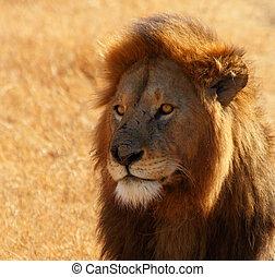 Dazed Male Lion Head Shot
