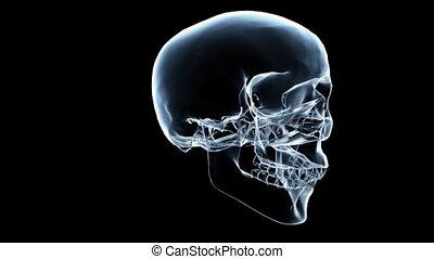 db Skull Xray 03 - X-Ray of a human skull. Seamlessly loops....