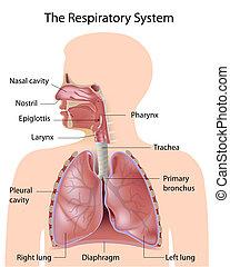 de, ademhalings systeem, geëtiketteerde