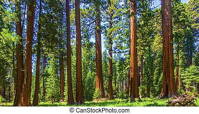 de, beroemd, groot, sequoia, bomen, zijn, staand, in, het...
