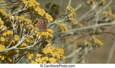 de, blackleg, tortoiseshell, of, groot, tortoiseshell, (nymphalis, xanthomelas), een, vlinder, van, de, gezin, nymphalidae, op, een, kerrie, plant
