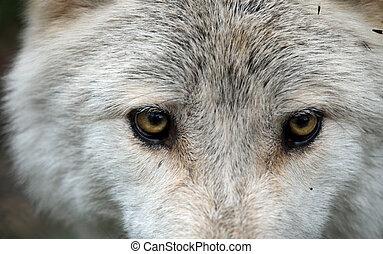 de, eyes, van, een, wolf