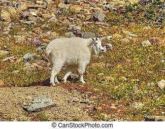 de geit van de berg, gletsjer nationaal park, mannelijke