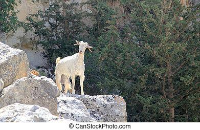 de geit van de berg