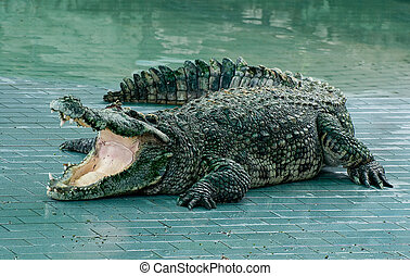 de, krokodil, in, dierentuin
