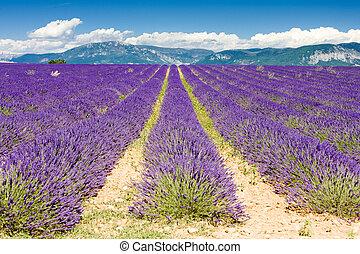 de, lavendel, frankreich, bergplateau, feld, provence,...