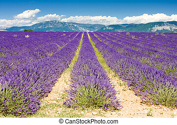 de, lavendel, frankrijk, hoogvlakte, akker, provence, ...