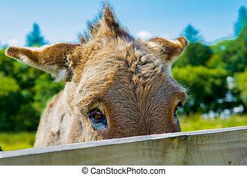 de madera, tímido, burro, detrás de la cerca