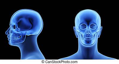 de, menselijk lichaam, -, schedel
